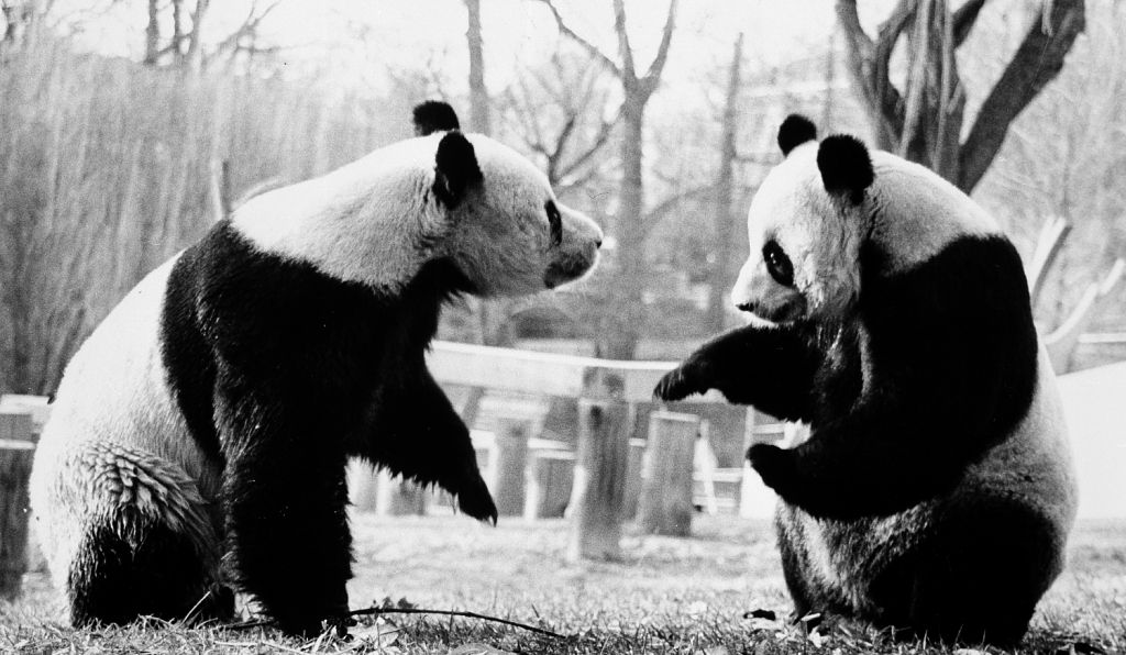 The male giant panda Hsing-Hsing and female Ling-Ling  arrived at the National Zoo on April 16, 1972.
