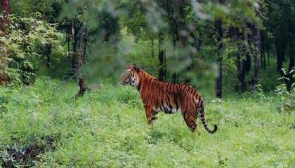 Forest Corridors Help Link Tiger Populations in India