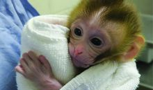 Monkey Born Using Frozen Testicular Testes
