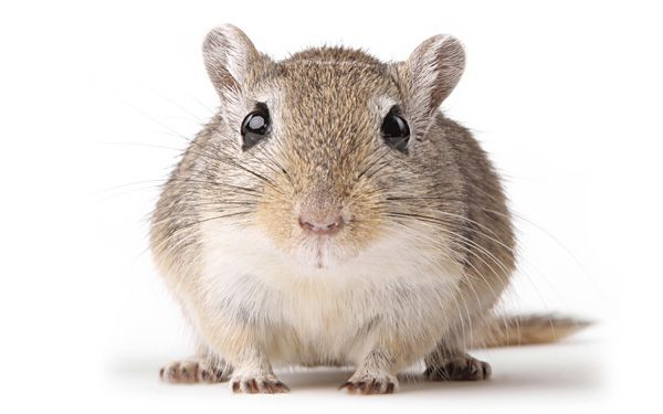 Are cute little gerbils to blame for Bubonic Plague?