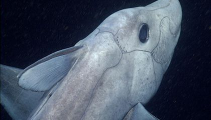 Watch Rare Footage of the Mysterious Ghost Shark Gliding Through the Deep