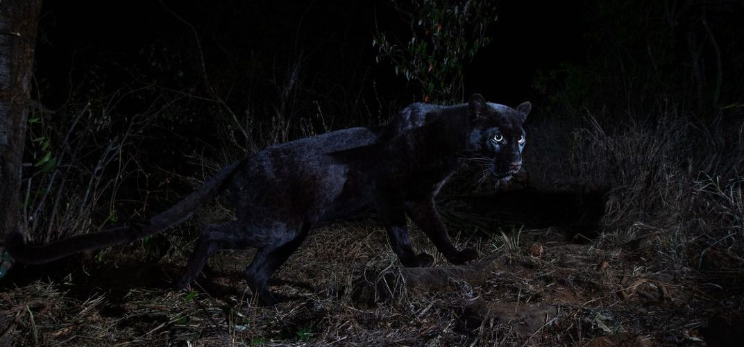 Caption: Rare African Black Leopard Photographed