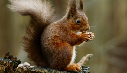 Leprosy Threatens U.K. Red Squirrel Populations