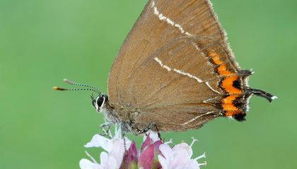 This Butterfly Recently Returned to Scotland. Now, It's Laying Eggs