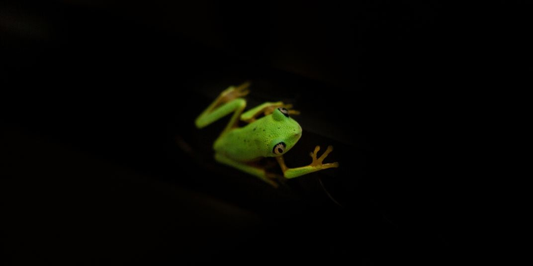 A photo taken from above showing the back of a small green frog with large eyes, called a lemur leaf frog, against a dark background