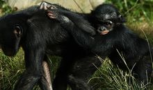 Baby chimpanzee and mother