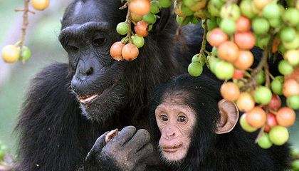 Chimps and Toddlers Use Same Gestures to Get Attention