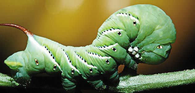 Wild-Things-caterpillars-631.jpg