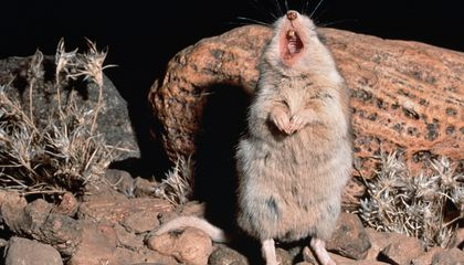 The Grasshopper Mouse Hunts Scorpions, Turns Scorpion Venom into Painkiller