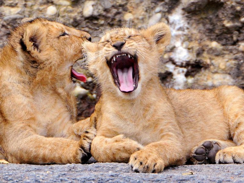 Lion cubs yawning