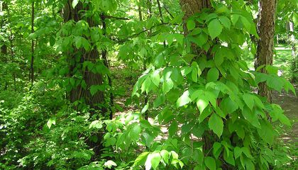 Scientists May Have Figured Out How to Make Poison Ivy Itch Less