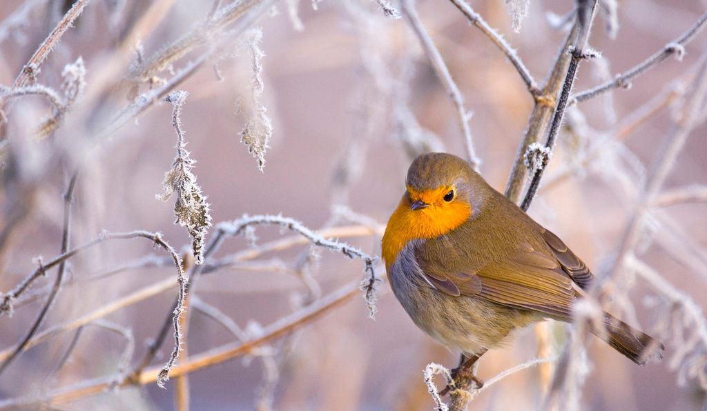 The European robin may be a quantum natural.