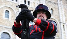 Tower of London Reveals Newest Royal Raven's Name