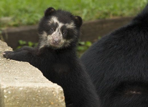 MALE-Andean-bear-cub_MM.jpg