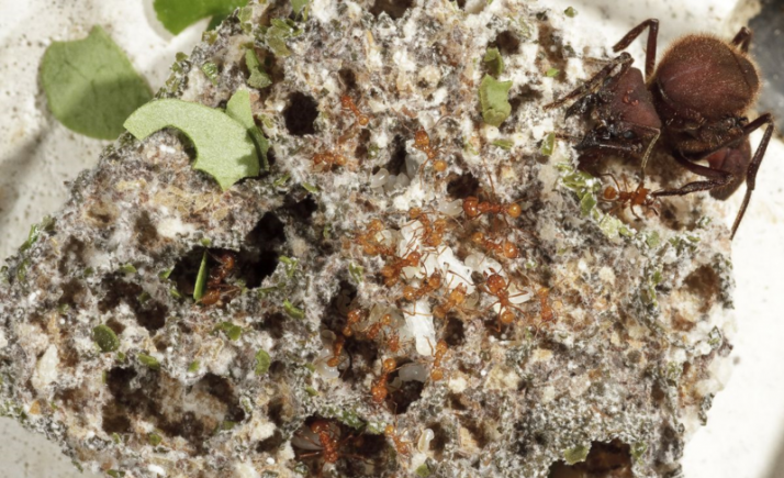 When it comes to agriculture, ants show swagger
