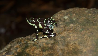 A Pioneering Force of Harlequin Frogs Set Out to Help Save Their Species