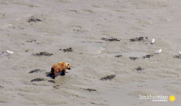 Preview thumbnail for video'Why Brown Bears Are Misunderstood