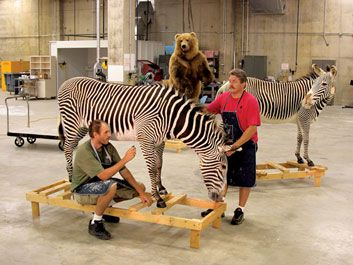 Paul Rhymer and John Matthews prep a zebra for display in the new mammal hall
