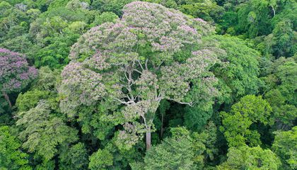 The purple-flowered crown of Dipteryx oleifera, one of the biggest trees on Barro Colorado Island, Panama, towers above the forest. Big trees may be most exposed to the effects of climate change: more frequent and severe drought, and the high winds and lightning of monster storms.