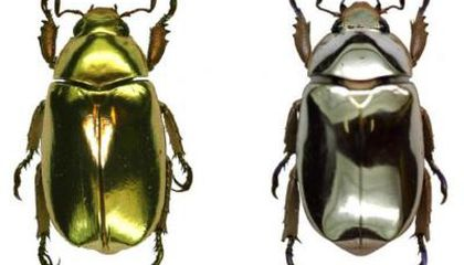 The Gold and Silver Beetles of Costa Rica