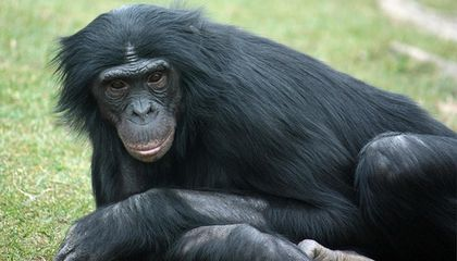 Bonobos Tell Each Other Where to Find the Yummy Foods