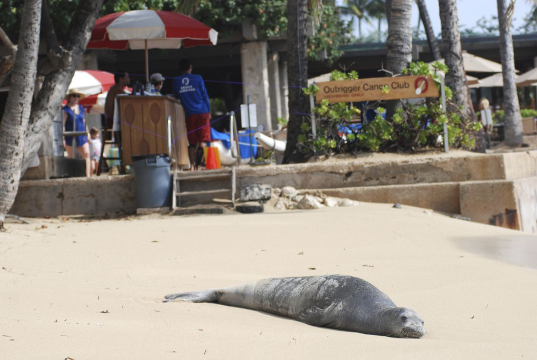 Hopes rise for Hawaiian monk seals