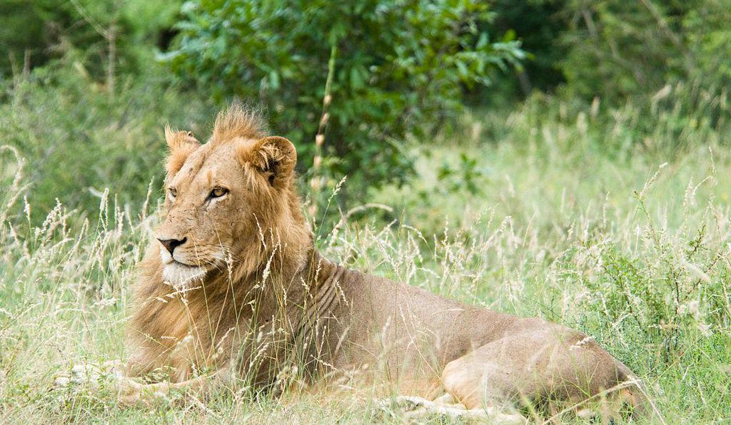 When mating, male lions travel great distances in search of new prides
