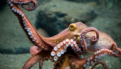A Very Angry Octopus Goes Viral After Lashing Out at an Australian Tourist