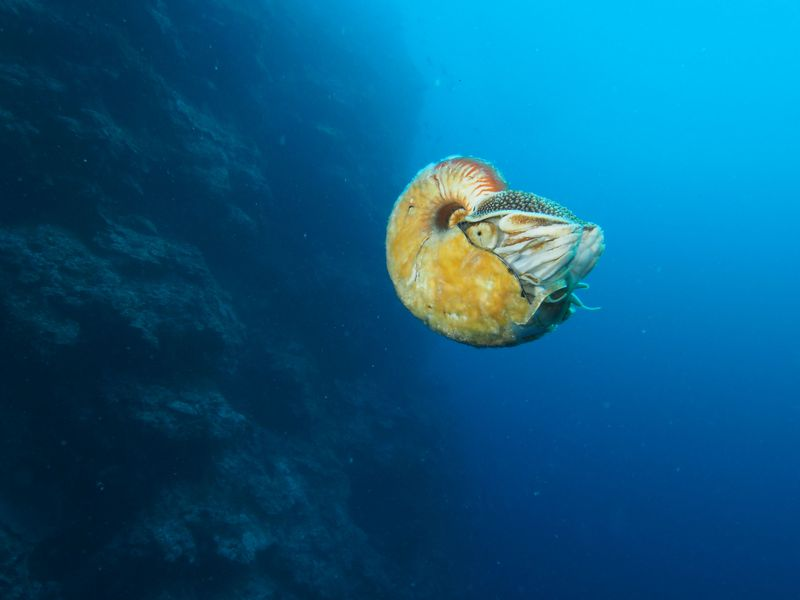 crusty nautilus