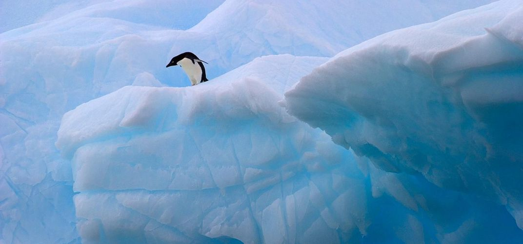Solitary penguin waiting to jump in the water. Credit: Cara Sucher