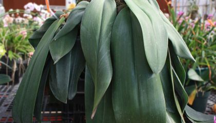 Meet Stinky 'Bucky,' the Bulbophyllum Orchid that Shutdown a Smithsonian Greenhouse