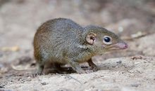 Tree Shrews Love Hot Peppers Because They Don't Feel the Burn