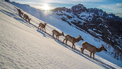 Photos Document Dramatic Wildlife Migrations Across Yellowstone