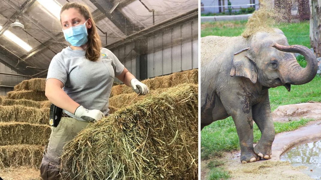 An elephant keeper lifting a bale of hay (left) and an Asian elephant using its trunk to toss hay onto its head (right)