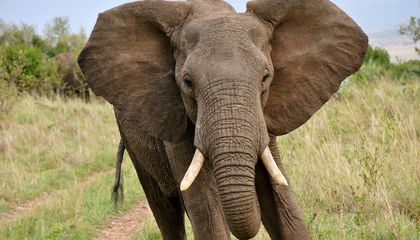 14 Fun Facts About Elephants
