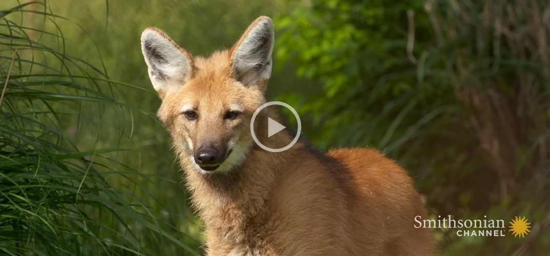 Caption: Wild Inside the National Zoo: The Future of Maned Wolves