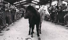 Ponies up for sale at the Llanybydder horse mart.