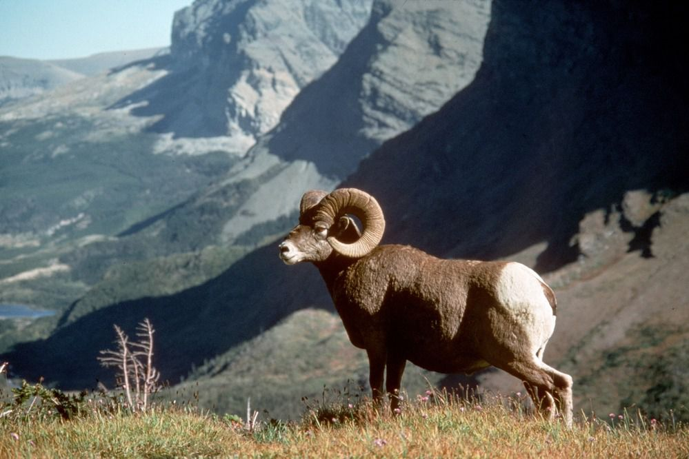 ten fun facts about rams the animals science smithsonian magazine ten fun facts about rams the animals