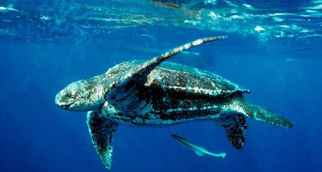 A leatherback turtle is just one of many predators in the ocean