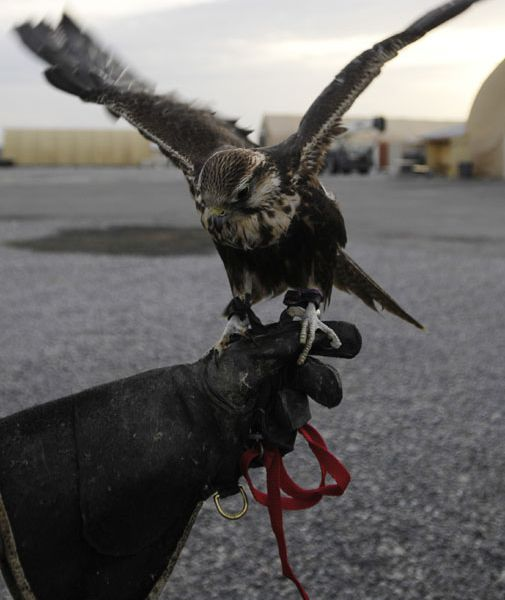 A natural predator helps prevent bird strikes at an air base in Kyrgyzstan.