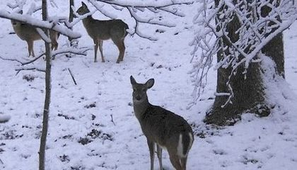Deer May Be Peeing Themselves Out of Their Favorite Winter Habitats
