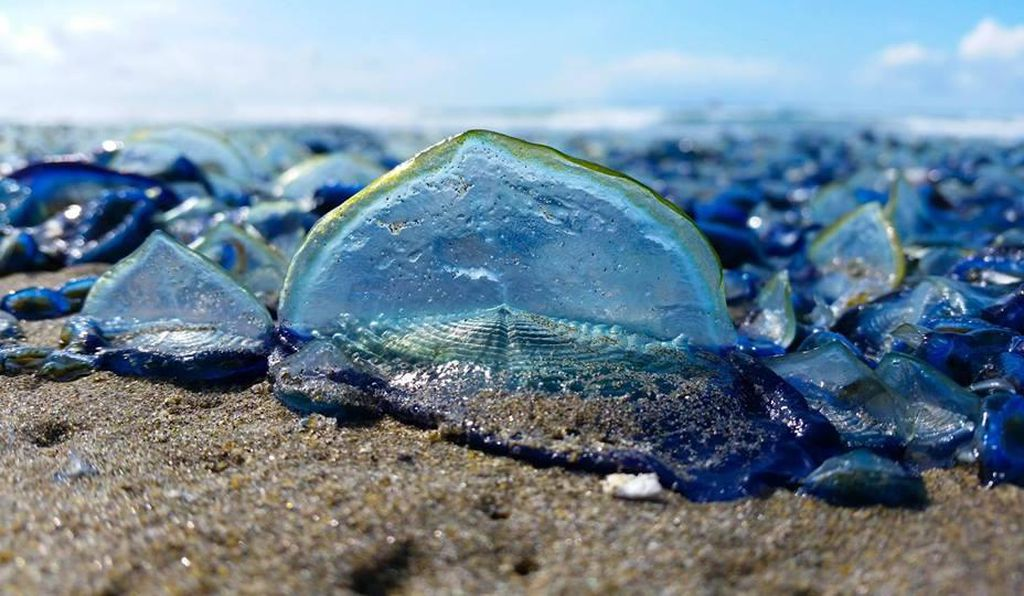 Velella velellas in Seaside, Ore.