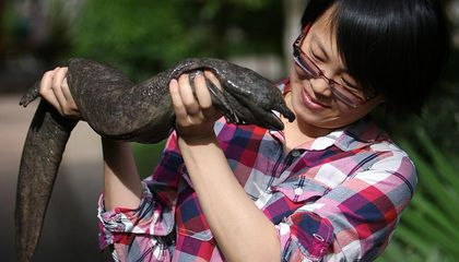 The Adorable Chinese Giant Salamander Is Slithering Toward Extinction
