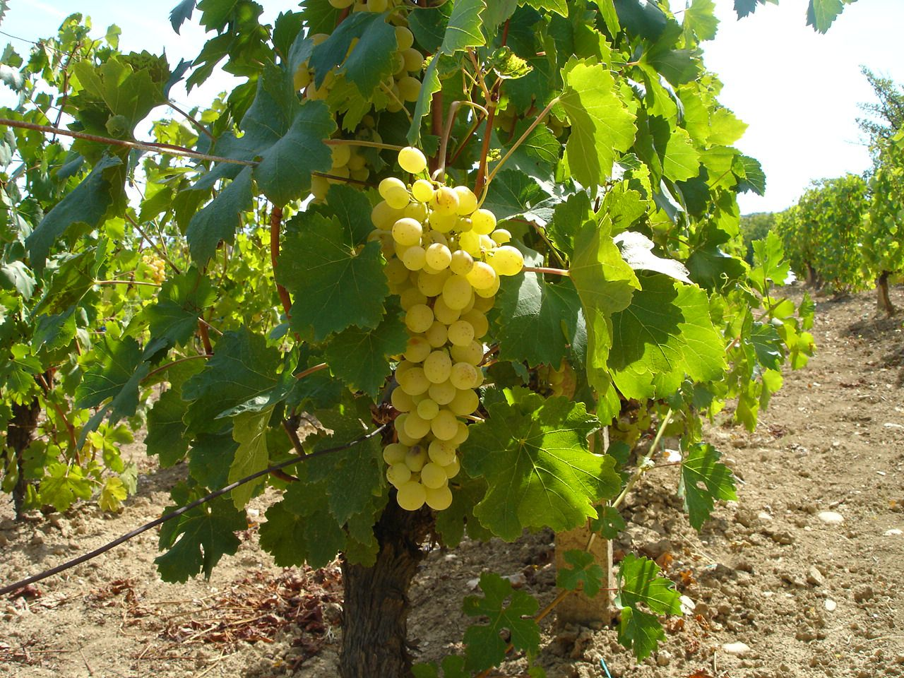 English Sparkling Wines Challenge the Supremacy of Champagne, France—Thanks to Climate Change - Smithsonian.com