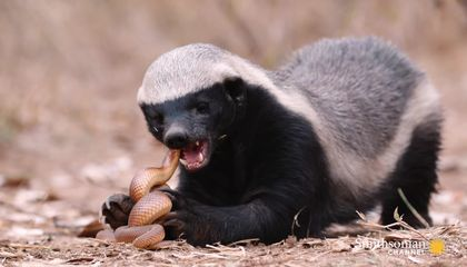 Preview thumbnail for video'A Honey Badger and Mole Snake Fight to the Death