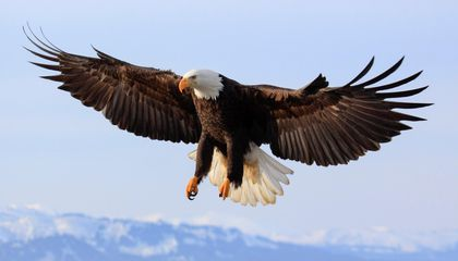 What Killed 13 Bald Eagles in Maryland?