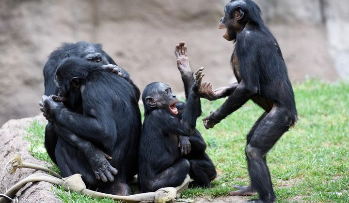 Why Humans Are Only Primates Capable of Talking