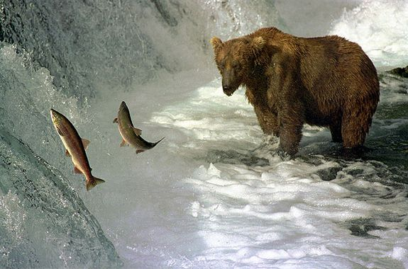 A brown bear fishing salmon in Brooks River, Katmai National Park, Alaska
