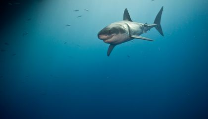 Great White Sharks Are Being Killed Before They Can Become Truly Gigantic