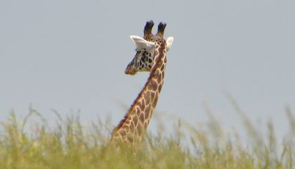 Is This Mother Giraffe Mourning Her Dead Baby?